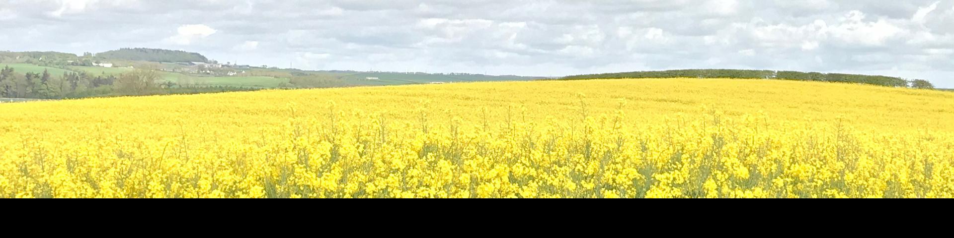 Field of yellow rapeseed
