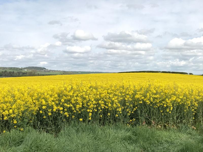 Field of oilseed rape in the sunshine
