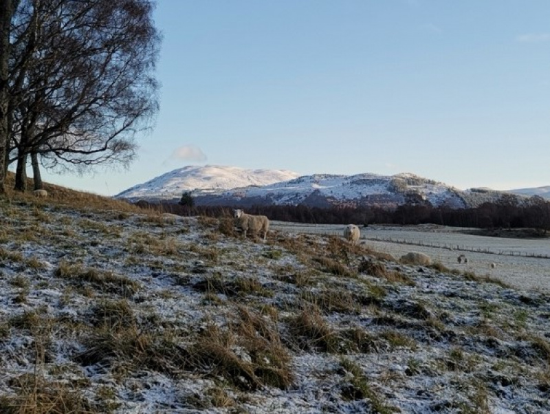 Sheep in a wintry landscape near Aviemore