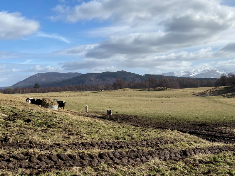 Cattle with a view of the Cairngorms