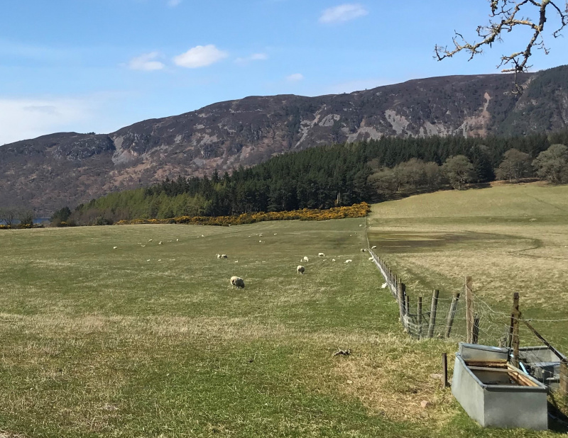 Sheep in a field on the shore of Loch Ness